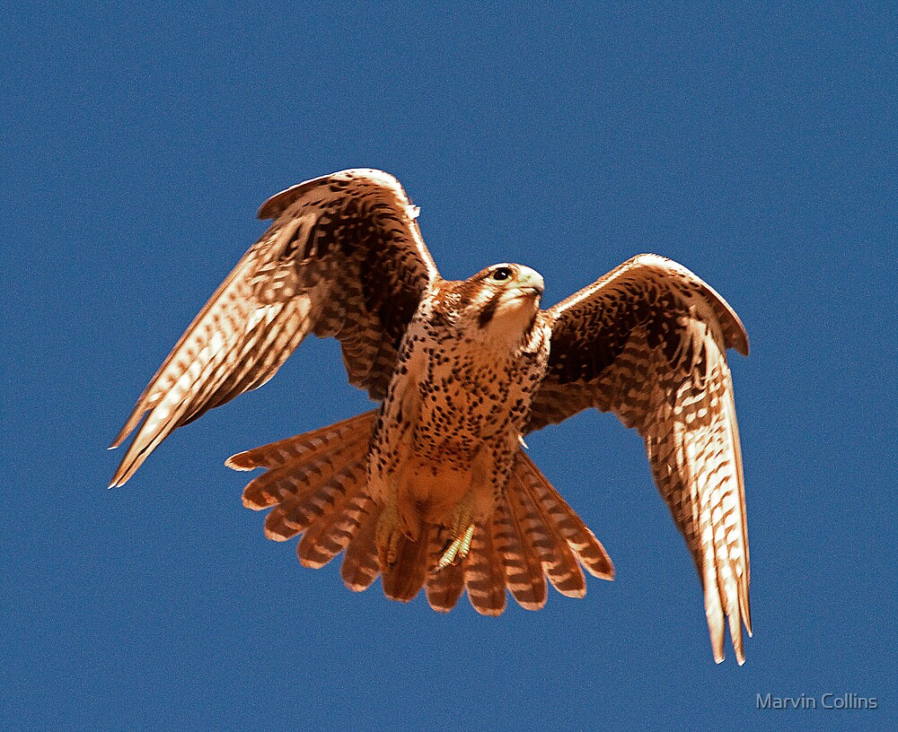 122410 Prairie Falcon by Marvin Collins