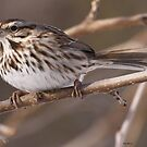 Song Sparrow by Dennis Cheeseman
