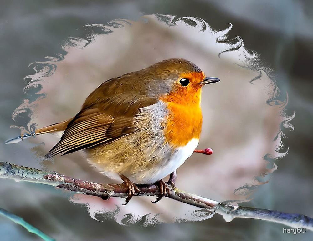 Robin by hary60
