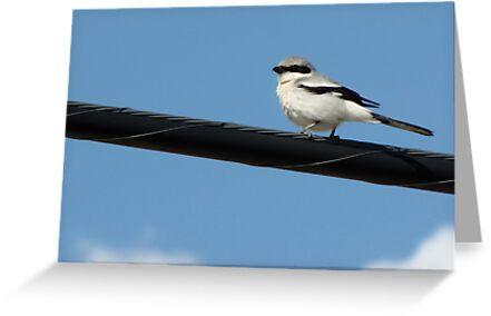 Loggerhead Shrike ~ Marana, Az by Kimberly Chadwick