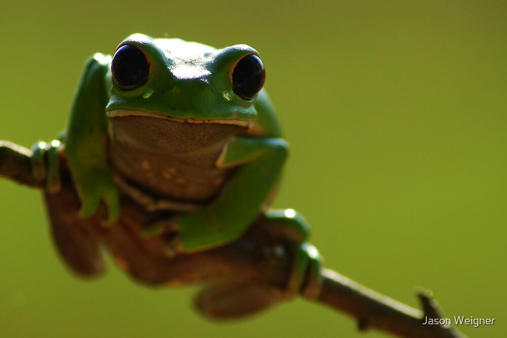 Red-rimmed Monkey Tree Frog (Phyllomedusa boliviana) - Bolivia by Jason Weigner