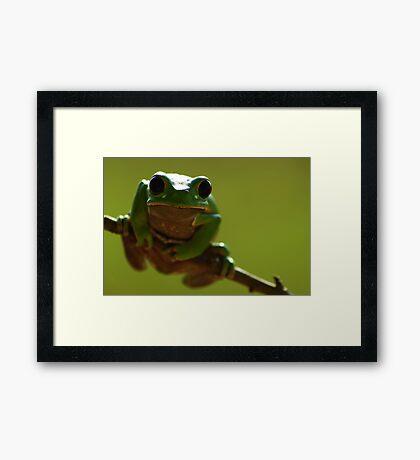 Red-rimmed Monkey Tree Frog (Phyllomedusa boliviana) - Bolivia Framed Print