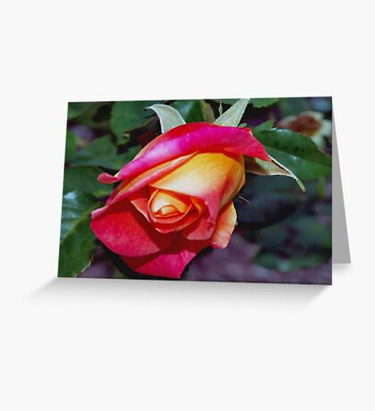 Peach rosebud Greeting Card