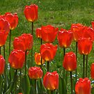 Tulips in the West of the Lake Gardens by leesm19