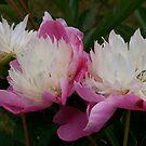 Perfect pink peonies by leesm19