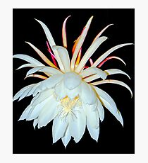 Night Blooming Cereus Photographic Print