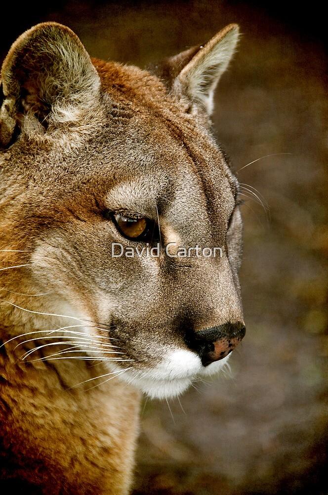 A pensive Puma portrait by David Carton