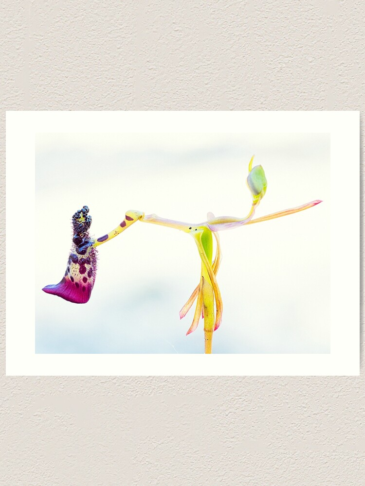 Alternate view of Warty Hammer Orchid Art Print