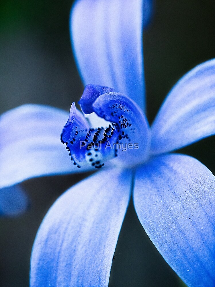Silky Blue Orchid by AmyesPhotograph