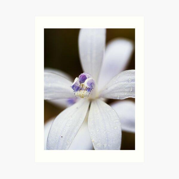 Albino Silky Blue Orchid Art Print