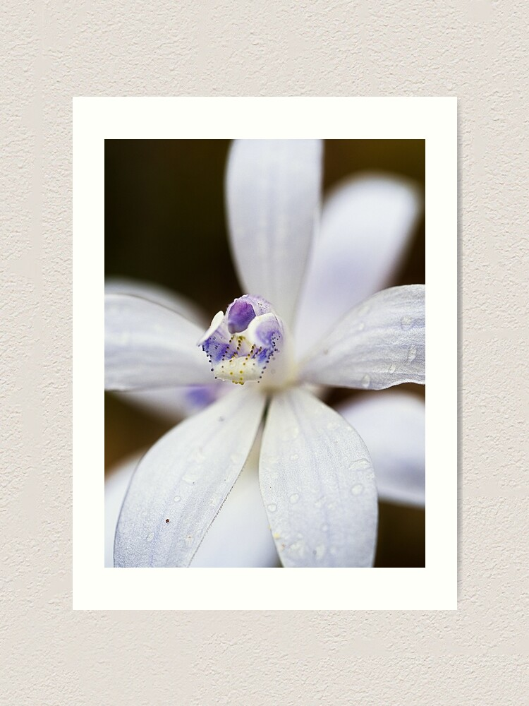 Alternate view of Albino Silky Blue Orchid Art Print