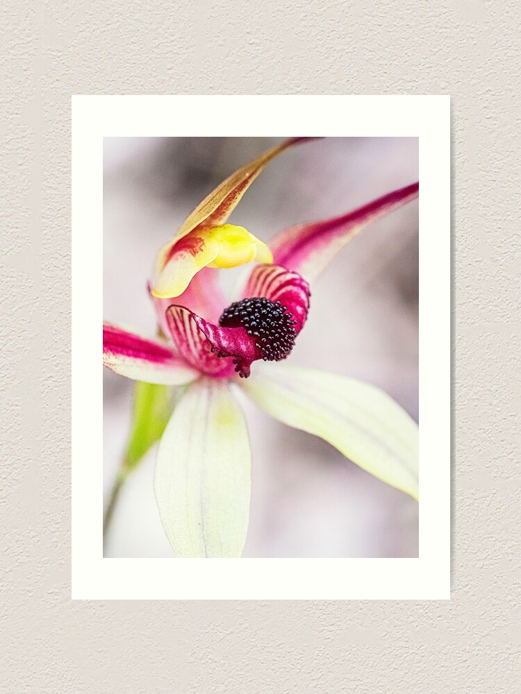 Alternate view of Leaping Spider Orchid Art Print
