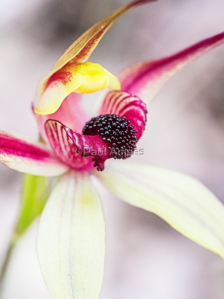Leaping Spider Orchid by AmyesPhotograph