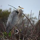 Great Blue Heron (Nest with baby) by D R Moore