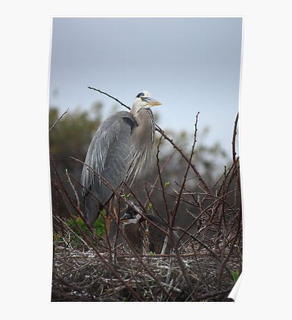 Great Blue Heron (Nest with baby) Poster