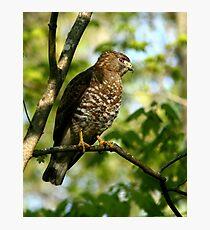 Broad winged Hawk Photographic Print