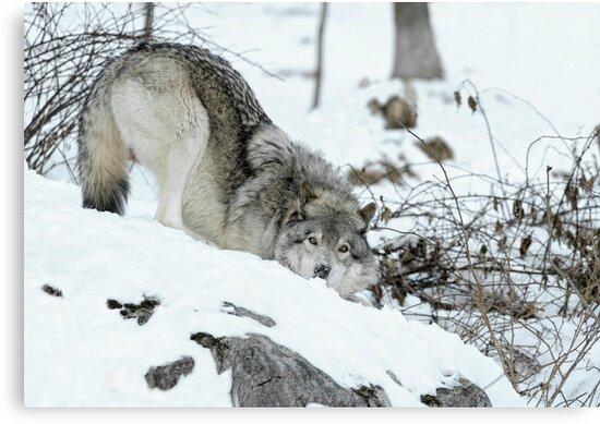 Crouching Timber Wolf by Bill Maynard