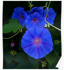 Ipomoea Indica Poster