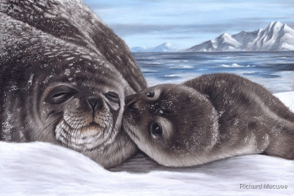 Portrait of a seal and cub by Richard Macwee