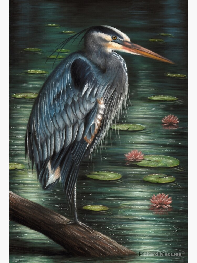 Portrait of a Great Blue Heron by richardmacwee