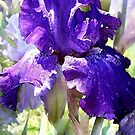 blue iris by jashumbert
