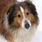 sheltie in the snow by jashumbert
