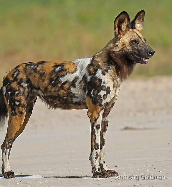 Painted Dog! by Anthony Goldman
