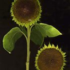 Sunflower Heads with leaves by Barbara Wyeth
