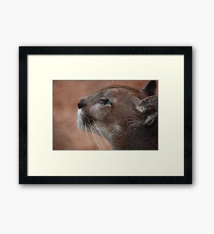 Florida panther  Framed Print