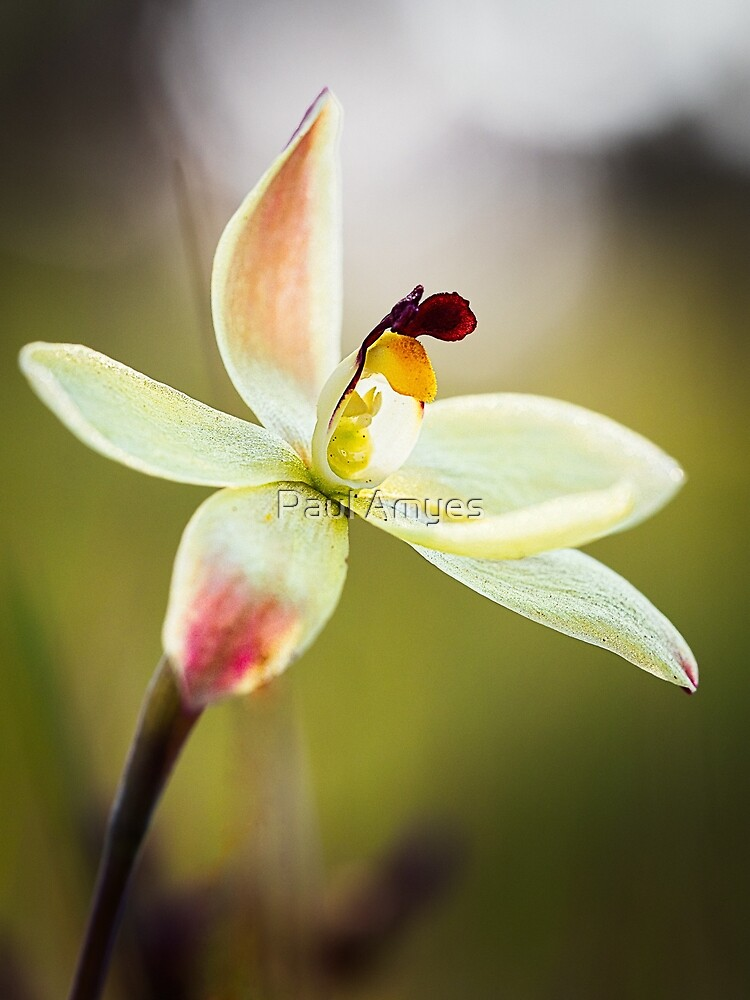 Lemon Scented Sun Orchid by AmyesPhotograph