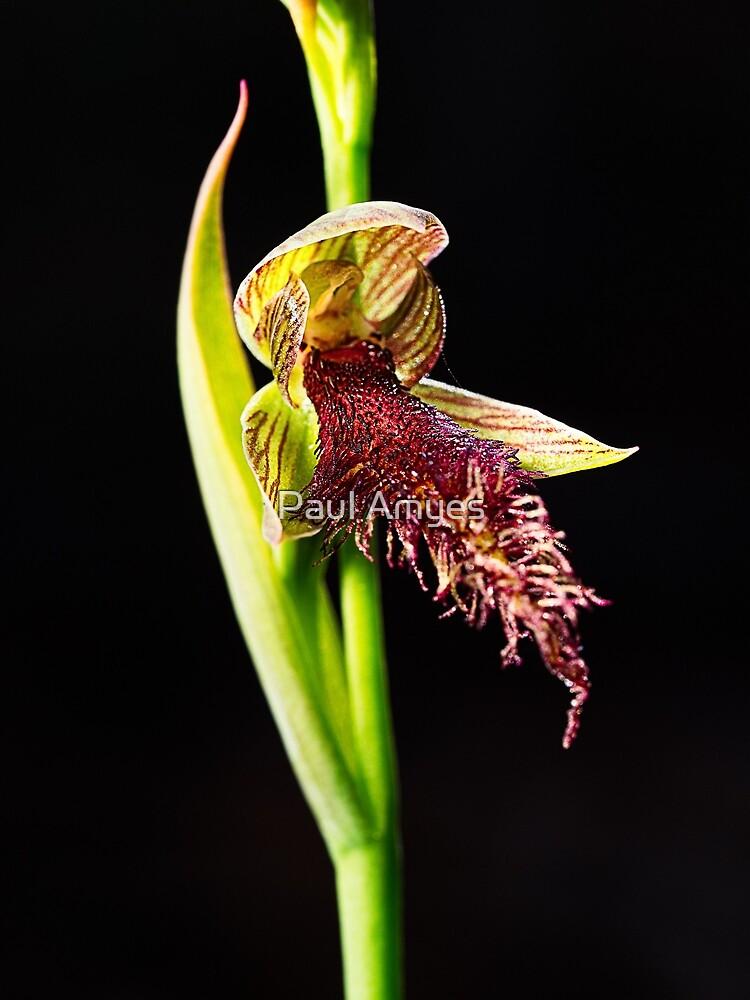 Wandoo Beard Orchid by AmyesPhotograph