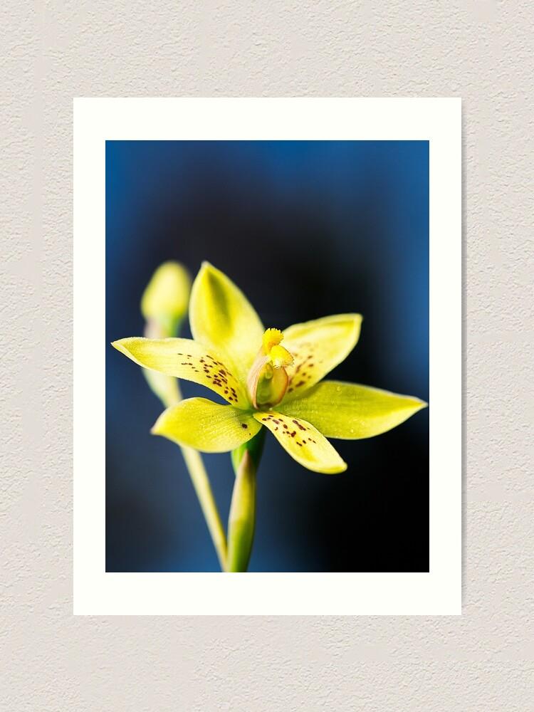 Alternate view of Custard Orchid Art Print
