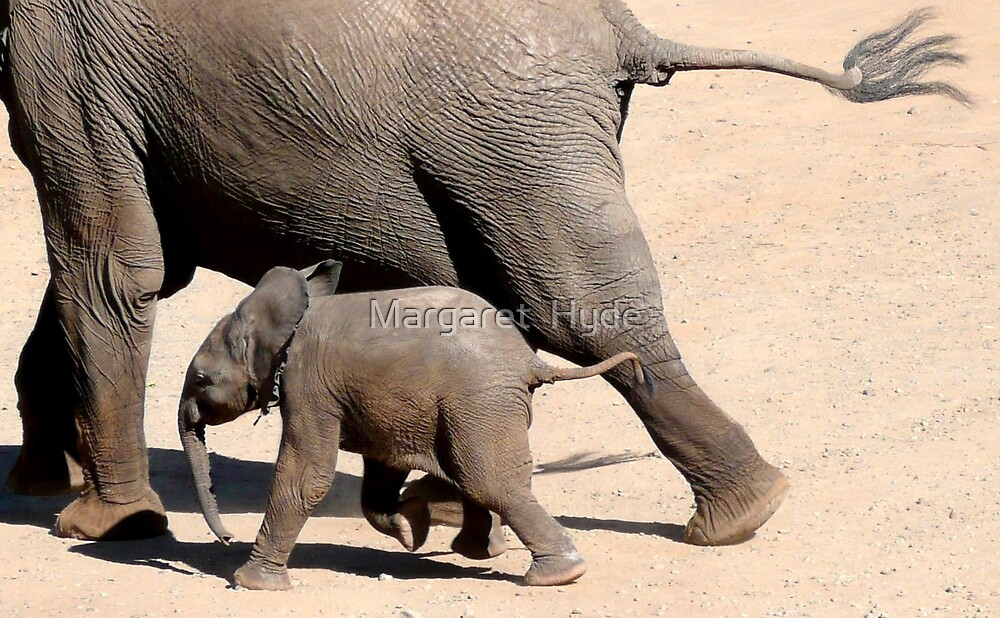 On the Run - African Elephant - Loxodonta africana by Margaret  Hyde