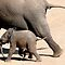 OLIFANTE / ELEPHANTS in Africa / Afrika