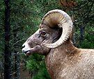 Bighorn Alert by Margaret  Hyde