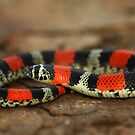 Ringed Hognose Snake (Lystrophis semicinctus) - Bolivia by Jason Weigner