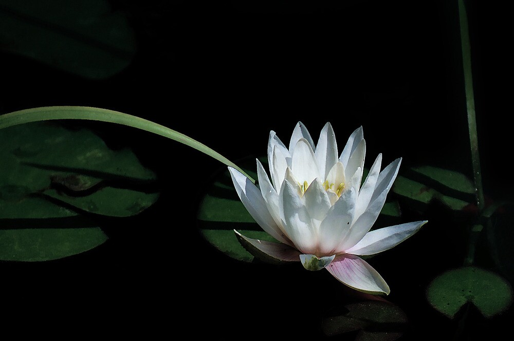 New Beginning - Waterlily by jules572