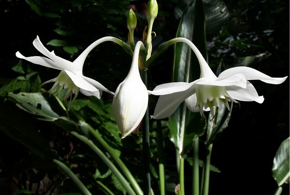 Eucharis Grandiflora ~  Amazon Lily by Carmen Holly