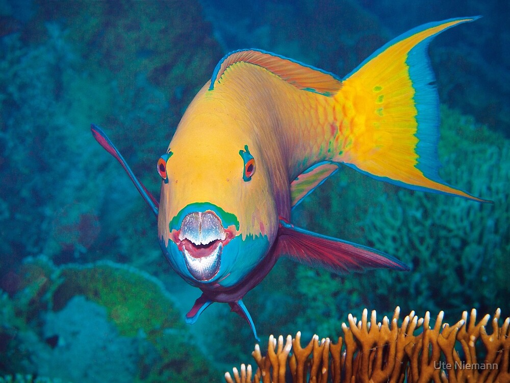 Parrotfish | Am I beautiful? |  by Ute Niemann