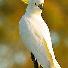 Sulphur Crested Cockatoo. Brisbane, Queensland, Australia. by Ralph de Zilva