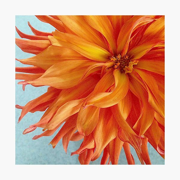 Orange Dahlia Photographic Print