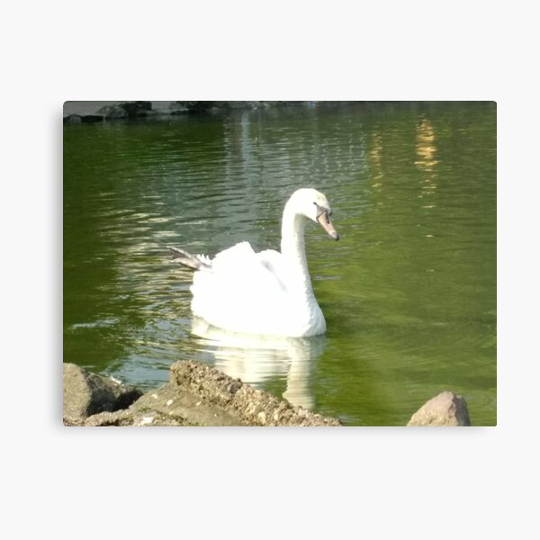 Merch #47 -- Swan - Shot 5 (Pearson Park) Metal Print