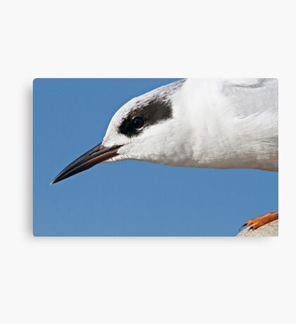 Forster's Tern Close Up Canvas Print