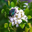 Beetle Beauty  by Heather Friedman
