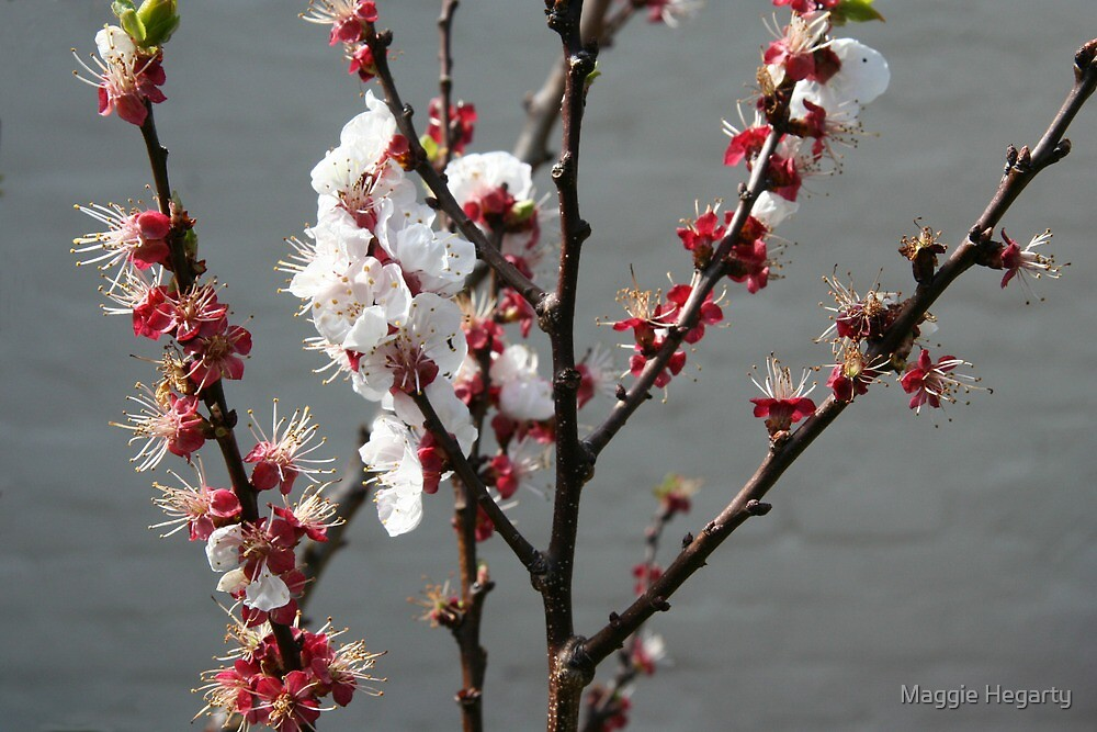 Apricot blossom by Maggie Hegarty