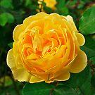 Graham Thomas, David Austin English Rose. by johnrf