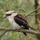 Kookaburra on Phillip Island by Jay Armstrong