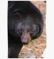 Florida Black Bear Poster