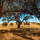 gum trees by adouglas