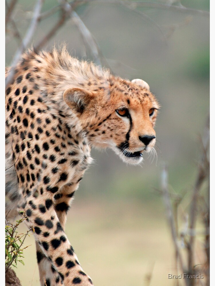 Male Cheetah  by bfra
